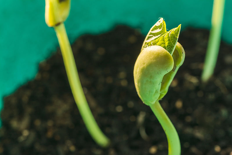 bean sprouting and growing in soil