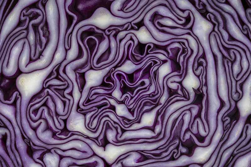 red cabbage science experiment